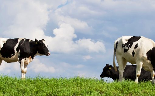 Thumbnail voor Verkiezingen, boeddhisme en gevilde koeien